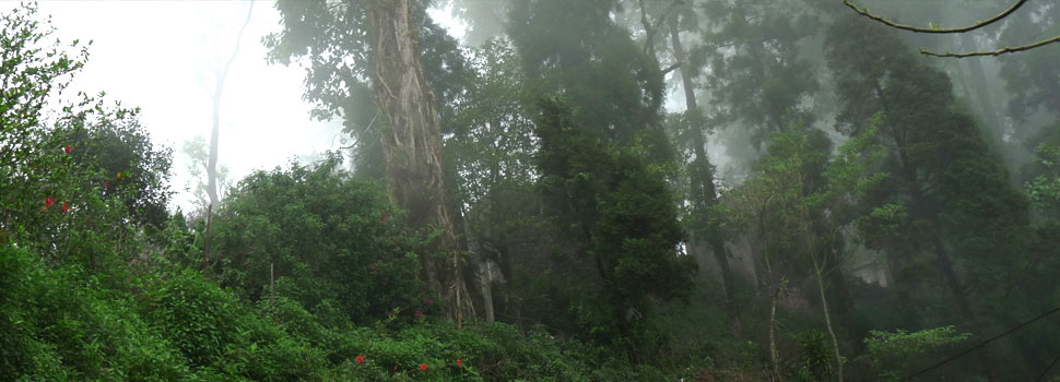 Makaibari tea garden is a unique scenario by retaining primary forests