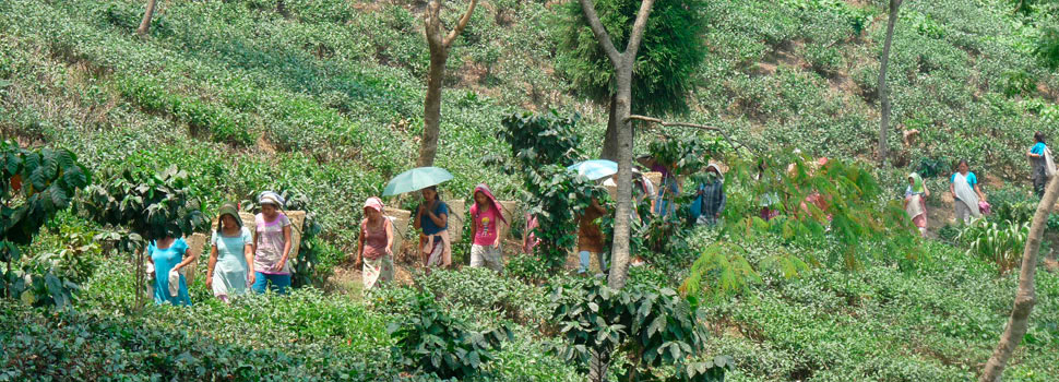 Our Tea Estate, where tea grows in harmony with forests