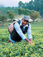 A journey into Indias tea territory